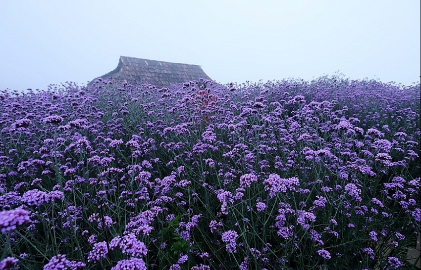 fansipan mountain the season of verveine flowers