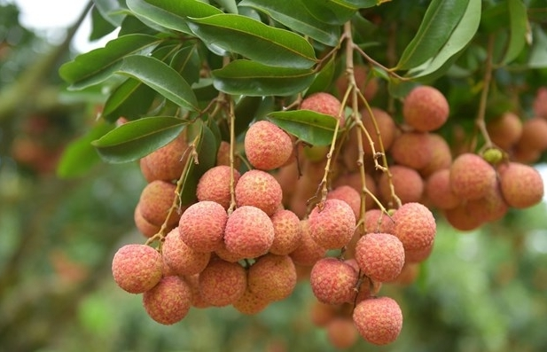 Vietnamese lychees confident of winning over consumer taste in Netherlands