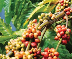 Vietnamese Arabica coffee appeals to world consumers
