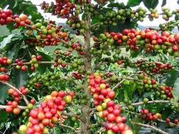 Vietnam achieves No1 coffee exporter position