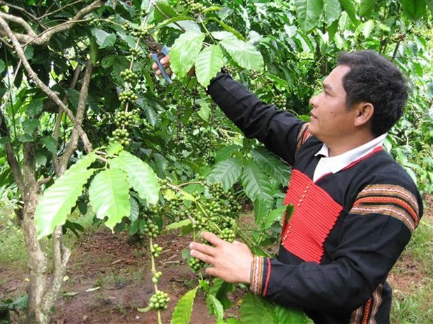 36000 ha of coffee sustainably grown in central highlands under vnsat project