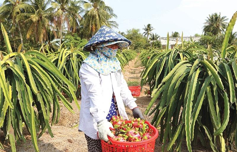 Dragon fruit diversification key to success