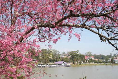Da Lat to host first Cherry Blossom Festival