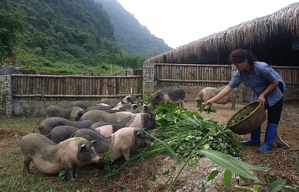 tea pork farm makes a big hit in ninh binh
