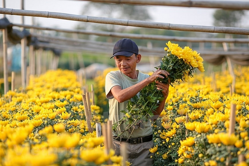 tay tuu flower village blooms for tet