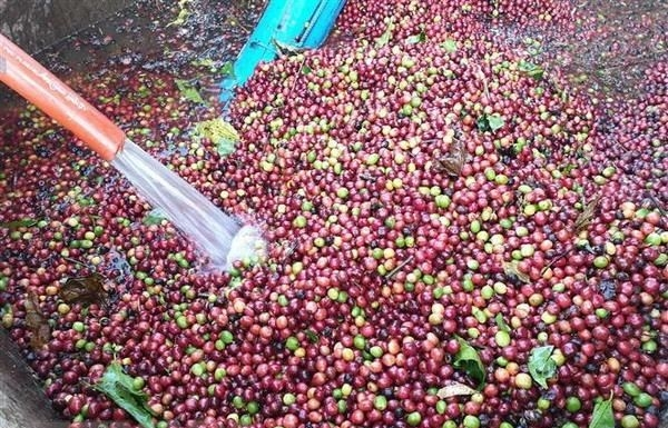 Vietnam develops high-quality coffee