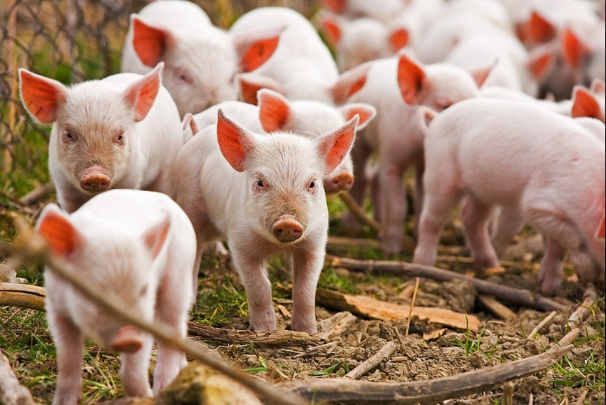 Price of pigs dropping as supply mounts