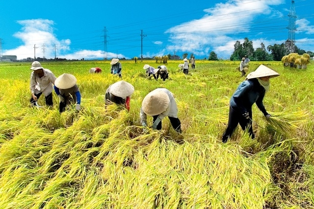 Vietnam's rice exports in spotlight despite decrease in acrerage