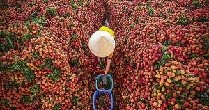 Vietnam exports first batch of lychee under EVFTA