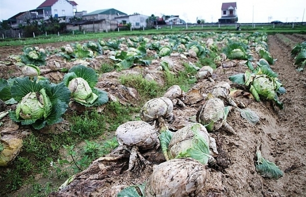 Vegetable prices plunge in northern and central regions