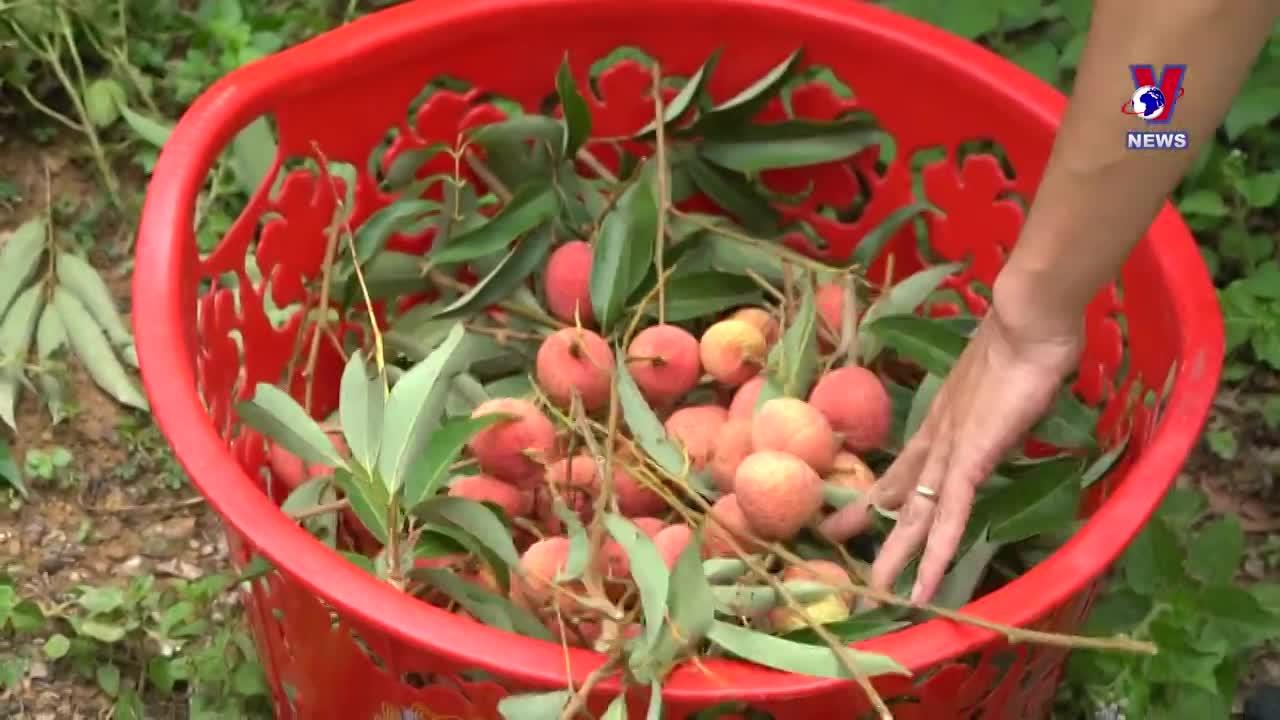 Fresh lychee reaches Japanese consumers