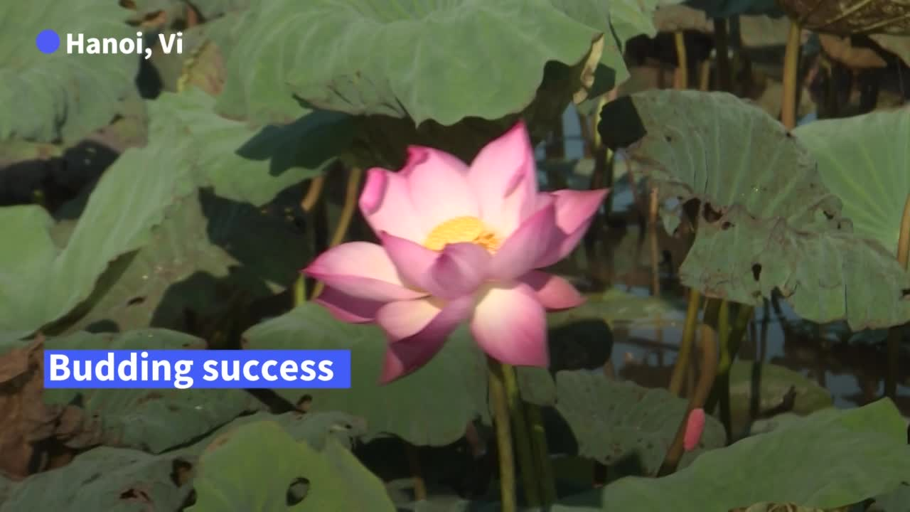 Fabric of success: how 'lotus silk' is weaving its way into Vietnam
